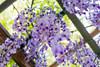 DSC_1559 (sayo-tsu) Tags: 藤 wisteria 牛島のフジ 春日部市 埼玉県 kasukabe saitama 特別天然記念物