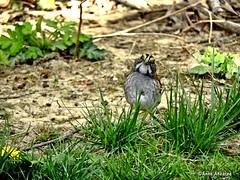 White-throated Sparrow (Anne Ahearne) Tags: bird birds whitethroatedsparrow sparrow nature animal wildlife