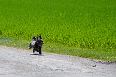 """Boudchou au décollage (Brigitte .. . """"Tatie Clic"""") Tags: 2017040716 chien avril printemps course route champ animaldecompagnie"""