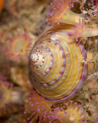 Painted top shell (dave.thediver) Tags: calliostomazizyphinum cornwall paintedtopshell anemone coldwater jewelanemone macro manacles sea shell snail underwater