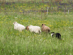 P4230564 (zullo_stefano) Tags: dog pet farm sheep sheepdog herding workingdog shepperd italy nature green fiield olympus e5 zuiko training border bordercollie