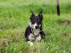P4230639 (zullo_stefano) Tags: dog pet farm sheep sheepdog herding workingdog shepperd italy nature green fiield olympus e5 zuiko training border bordercollie
