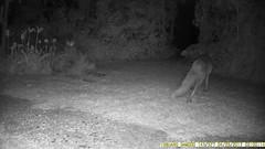 TrailCam225 (ohange2008) Tags: badger fox essexgarden april peanuts trailcam