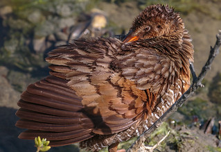 Hygiene above all else (details of the clapper rail wing :-))
