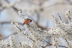 Paon du jour (Aglais io) (aurelien.ebel) Tags: alsace animal basrhin france inachisio insecte lawantzenau nymphalidae nymphalinae nymphalisiolinnaeus 1758 paondujour papillondejour rhopalocères