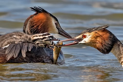 Great Crested Grebe (Podiceps cristatus) feeding young (DerekL1) Tags: avian bird waterbird greatcrestedgrebe podicepscrisatatus feeding chick fish calfheathreservoir staffordshire uk