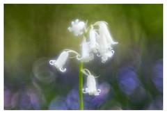 Hyacinth _ 2 (leo.roos) Tags: hyacint hyacinthusorientalis commonhyacinth gardenhyacinth dutchhyacinth hyacintenbos hetzuidhollandslandschap denhaag thehague rossprojectionlens4375inch a7rii day112 dayprime dayprime2017 dyxum challenge prime primes lens lenzen brandpuntsafstand focallength fl darosa leoroos