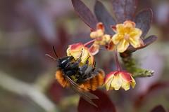 Tawny miner bee feeding on berberis flowers #2 (Lord V) Tags: macro bug insect bee minerbee andrena