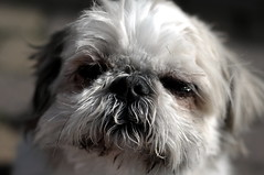 Old Man Cerb (Lee Saborío) Tags: dog pet shihtzu grumpy