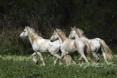 Equus ferus caballus, _DSC6193 (Francesc/Francisco) Tags: cavalls cavallsdelacamarga cavallscamarguèsos equusferuscaballus animal camarguehorse natura naturaleza nature camarga frança france francia