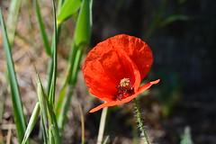papavero (kyry2010) Tags: papavero poppy fiore flower fleur flores flora floreal natura nature rosso red rouge
