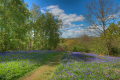 The Bluebells of Arger Fen & Spouse's Vale (Mark Seton) Tags: degas hdr flowers topaz flower miscellaneous wildflower bluebells argerfenspousesvale suffolk impressions2