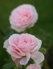 Morden Blush - Rosor hösten 2014001 (HAKANU) Tags: pink flower rose garden bush colours blossom sweden småland shrub summerhouse rosegarden rosebush rosarium mordenblush