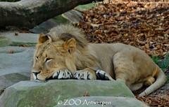 Afrikaanse leeuw - Panthera leo leo - African Lion (MrTDiddy) Tags: cat mammal zoo big kat feline leo african lion bigcat antwerp antwerpen zooantwerpen grote nestor leeuw panthera zoogdier afrikaanse grotekat