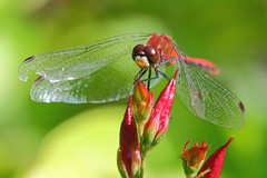 Red Dragon Dragonfly (B. Powell) Tags: red macro dragonfly extentiontubes extentiontube canon70d reddragondragonfly canon300mmf4lusmis reddragondragonflies