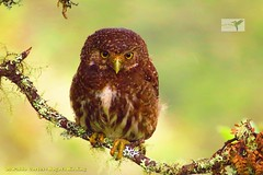 Andean Pigmy-Owl, Glaucidium jardinii, National Park Chingaza with Bogota Birding in the eastern andes- Colombia (OSWALDO CORTES -Bogota Birding and Birdwatching Co) Tags: glaucidiumjardinii andeanpigmyowl nationalparkchingazawithbogotabirdingintheeasternandescolombia