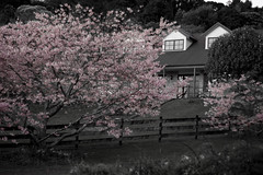 Cherry Blossom 3 (C & R Driver-Burgess) Tags: pink flowers roof house tree fence cherry blossom lawn rails desaturated peaks gable