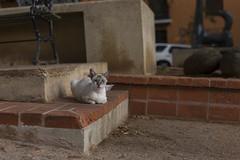 Gato vigilante (joejungmann) Tags: ex cat puertorico gato dg sigma50mm hsm