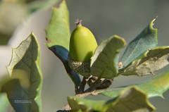 bolota (mamarocarvalho) Tags: acorn acorns bolota azinheira ghianda glant