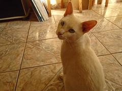 gato branco (maiconalves204) Tags: branco cat gato gatobranco