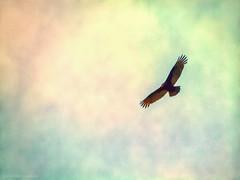 Carancho (max_2001ar) Tags: sky naturaleza bird fly ave cielo alas pajaro libre vuelo plumas rapia carroero