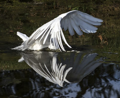 Disembodied Wings (Bill Gracey 23 Million Views) Tags: california white reflection bird nature wings hunting egret greategret sandiegocounty greatwhiteegret santeelakes ardeaalbaegretta naturephotograhy