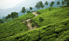 Tea plantation - Munnar (sibi ar ( I'm BACK :)) Tags: green village tea plantation canon5d agriculture munnar topstation sibiar
