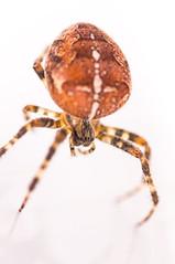 Spider_20141007 (jhg100) Tags: england macro spider unitedkingdom sony bugs alpha tamron 90mm slt longstanton a55