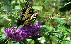 Eastern Tiger Swallowtail (Adventurer Dustin Holmes) Tags: flowers flower nature butterfly midwest missouri ozarks purpleflower swallowtail easterntigerswallowtail purpleflowers tigerswallowtail billrostonnativebutterflyhouse billrostonbutterflyhouse