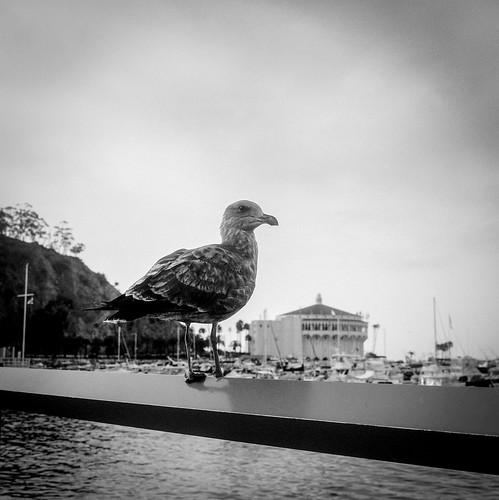 Catalina Seagull