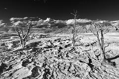 travertine terraces 02 (abtabt) Tags: usa tree geology geyser hotsprings wy hydrothermal usnationalpark bubblingmudpots steamingfumaroles d7001835g