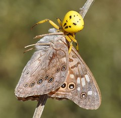 Hackberry Emperor, Asterocampa celtis, taken by crab spider (Dave Beaudette) Tags: arizona butterflies benson hackberryemperor asterocampaceltis cochisecounty