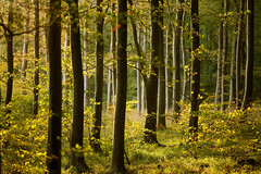 Friston Forest (Alan MacKenzie) Tags: autumn trees fall forest woodland sussex bokeh beech southdowns fristonforest