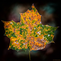 "Herbstblatt • <a style=""font-size:0.8em;"" href=""http://www.flickr.com/photos/58574596@N06/15330453017/"" target=""_blank"">View on Flickr</a>"