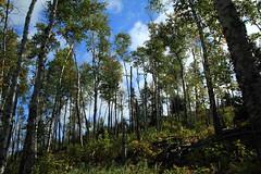 woods (capnadequate) Tags: statepark tree nature minnesota forest northshore birch splitrockstatepark dayhilltrail