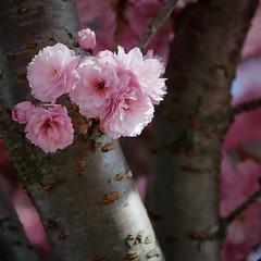 (juli_ei) Tags: ast blossom rosa sakura ef2470mmf28lusm frhling quadratisch 6d stamm kirschblte kirschbaum baumstamm eos6d
