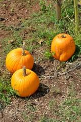 Pumpkins (Adventurer Dustin Holmes) Tags: plant fall vegetables garden pumpkins threepumpkins 2014 graycampbellfarmstead 3pumpkins