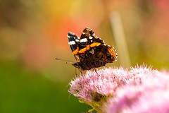 Butterfly of the season (Nils Croes) Tags: summer flower canon butterfly insect 85mm pollinate pollination 60d