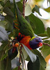 Rainbow Lorikeet in Sydneys Botanical Gardens. (Chris Firth of Wakey.) Tags: birds sydney rainbowlorikeet sydneybotanicalgardens