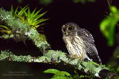 Mottled Owl (Strix virgata) (www.juancarlosvindasphoto.com) Tags: photography photo costarica tropical tours cr workshops mottledowl strixvirgata ciccabavirgata juancarlosvindas