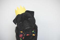 Ref_the_Pug_by_Kristy_Beck31082014_0009_IG (itsapugblog) Tags: dog pet pug pugs dogphotography blackpug petphotography pugphotography