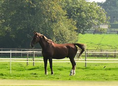DSC_0019 (jenniemay2011) Tags: autumn horse chestnut equine jenniemay nikond5100
