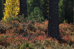 Hues of fall (gallserud) Tags: autumn fall nature automne sweden schweden herbst natur herfst otoo sverige  autunno outono