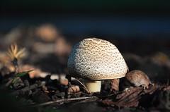 room for shrooms (christiaan_25) Tags: light shadow nature mushroom dark woods floor low small ground explore fungus 351 sep302014