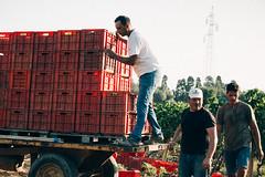 IMG_2595 (qbetto.com) Tags: vineyard workers wine harvest grapes sicily uva sicilia siracusa vino vendemmia agricoltura vigneto pupillo operai moscato agricolture raccolto solacium