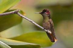 Chrysolampis mosquitus - Ruby-topaz Hummingbird - Colibrí Rubí Topacio 38 (jjarango) Tags: hummingbird birding aves birdwatching colibrí avesdecolombia chrysolampis mosquitus birdingcolombia birdsorcolombia