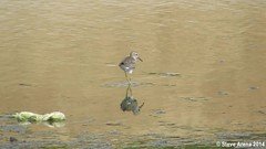 Wood Sandpiper (Tringa glareola) (Steve Arena) Tags: bird birds video tringa jeddah sandpiper saudiarabia dunlin shorebird wader woodsandpiper tringaglareola poopriver