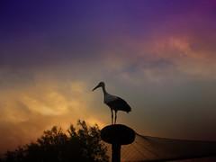 IMG_0749 sunset stork - ON EXPLORE # 187 (pinktigger) Tags: italy bird nature italia stork cegonha cigea friuli storch cigogne ooievaar fagagna cicogna oasideiquadris feagne ruby10 ruby15 ruby20
