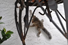 Juvenile Squirrel at My Front Door, North Port, Fla., Oct. 4, 2014 (JenniferHuber) Tags: babysquirrel floridaliving juvenilesquirrel floridasquirrel oct2014