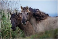 Konik Ponies at Oare Marsh Nature Reserve. (Smudge 9000) Tags: world autumn our wild england horses color unitedkingdom wildlife pony 2014 oare kwt konik oaremarshes